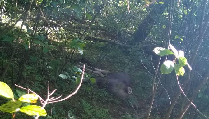 Mežā atrod beigtu alni