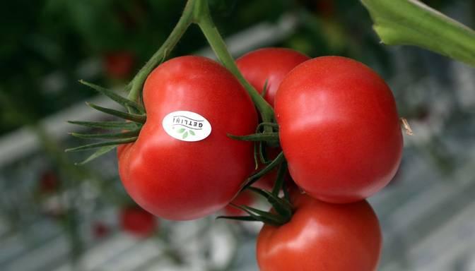 Getliņi Eko izsludina izsoli uz jauno tomātu ražu