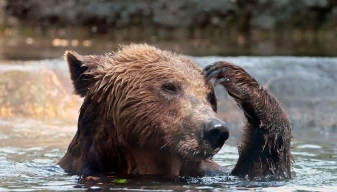 VIDEO: internets izsmej meiteni, kurai uzbruka lācis