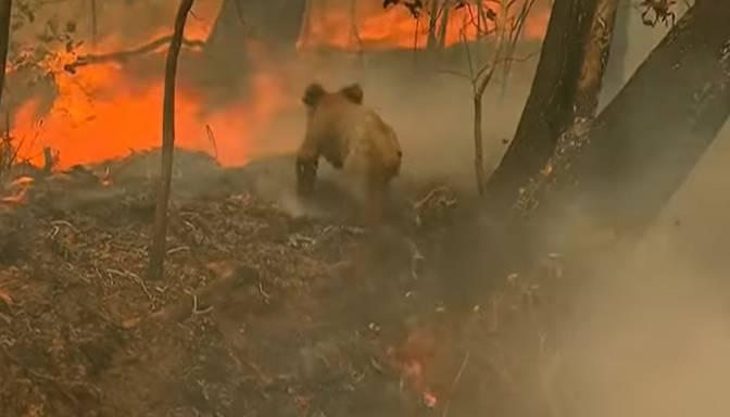 Skumja vēsts no Austrālijas: savvaļas ugunsgrēkā izglābtā koala Lūiss zaudējis dzīvību