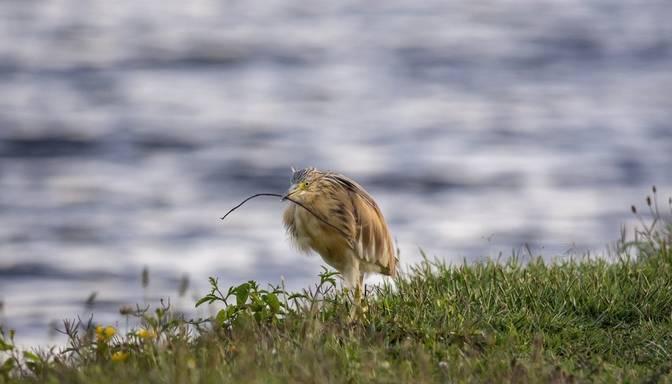 Latvijā putnu gripa vēl 14 savvaļas putniem; Igaunijā – 78 mājputnu novietnē