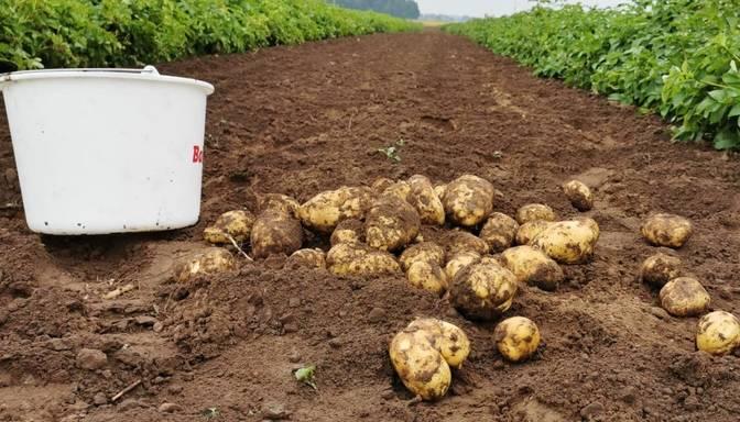 Asociācija: Kartupeļu cenas šogad pieaugušas mazāka piedāvājuma dēļ