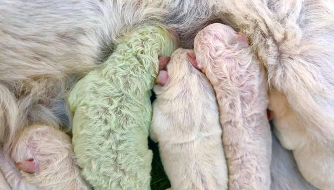 Itālijā piedzimis rets kucēns zaļā krāsā