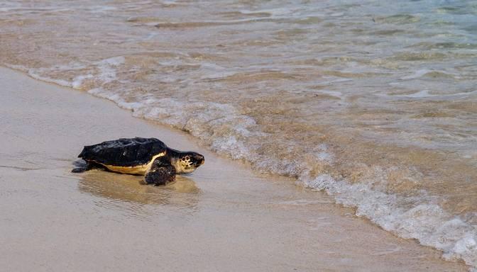 Dabas aizstāvji radoši cīnās pret nelegālo bruņurupuču olu tirdzniecību