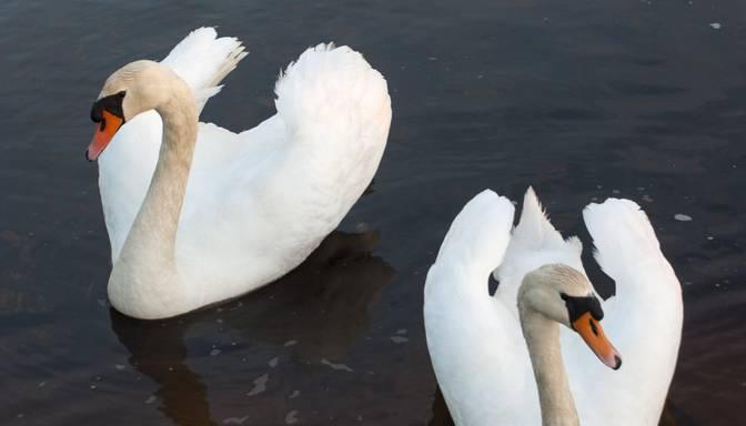 Arī Liepājā savvaļas ūdensputniem konstatēta augsti patogēnā putnu gripa