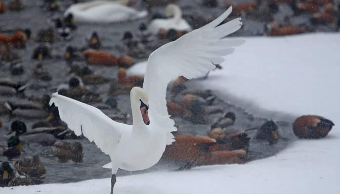 Arī Igaunijā atklāta augsti patogēnā putnu gripa