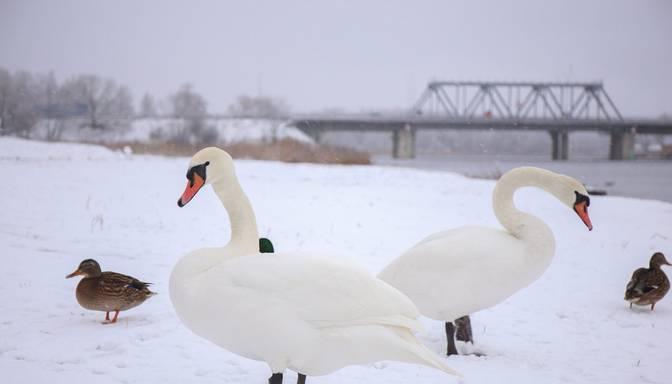 Dzintaru pludmalē atrastajiem mirušajiem gulbjiem konstatē pirmo putnu gripas gadījumu Latvijā