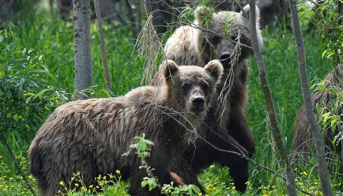 Brūnos lāčus neplāno iekļaut Latvijā medījamo dzīvnieku sarakstā