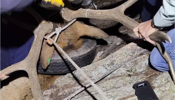 Dabas parka uzraugi pēc divu gadu mocībām atpestī dzīvnieku no gumijas riepas ap kaklu