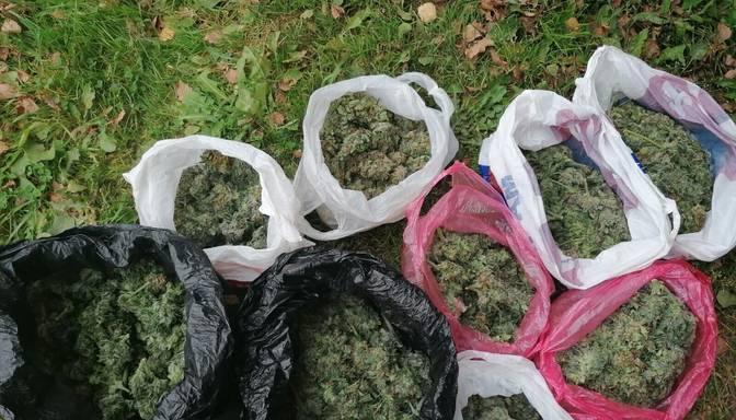 Policija privātīpašumā Rēzeknes novadā uziet marihuānas audzētavu