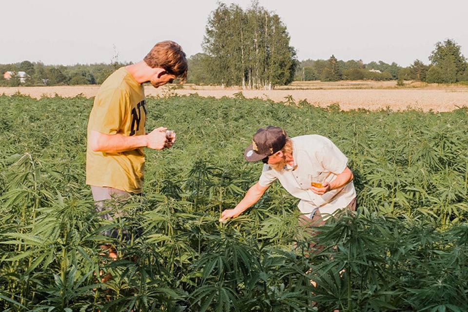"""Kur kaņepes liek Latvijas kaņepju audzētāji? Stāsta """"Obelisk Farm"""" saimnieks Andris Višņevskis"""